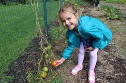 Student picking a tomato