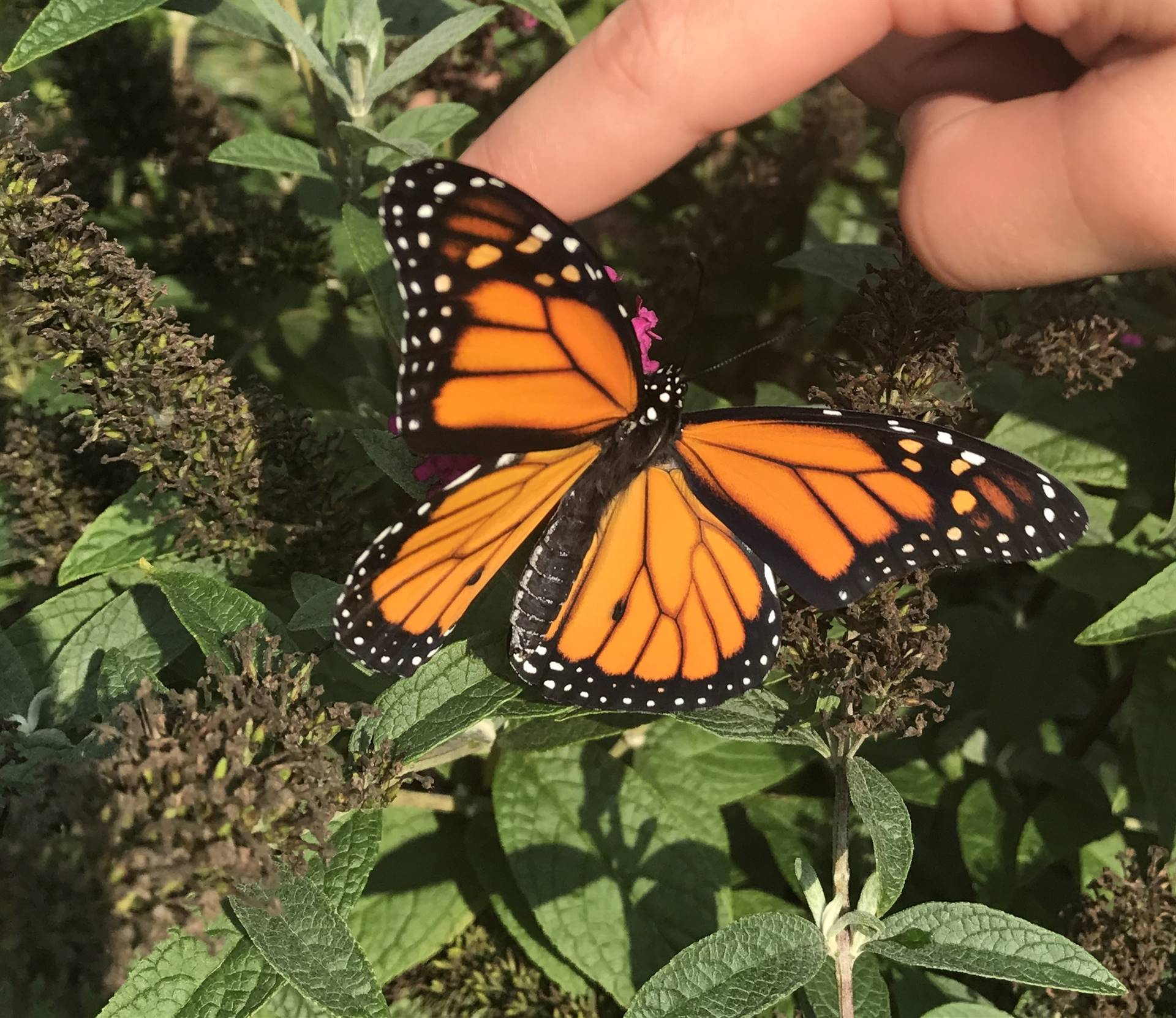 A close up of the monarch butterfly