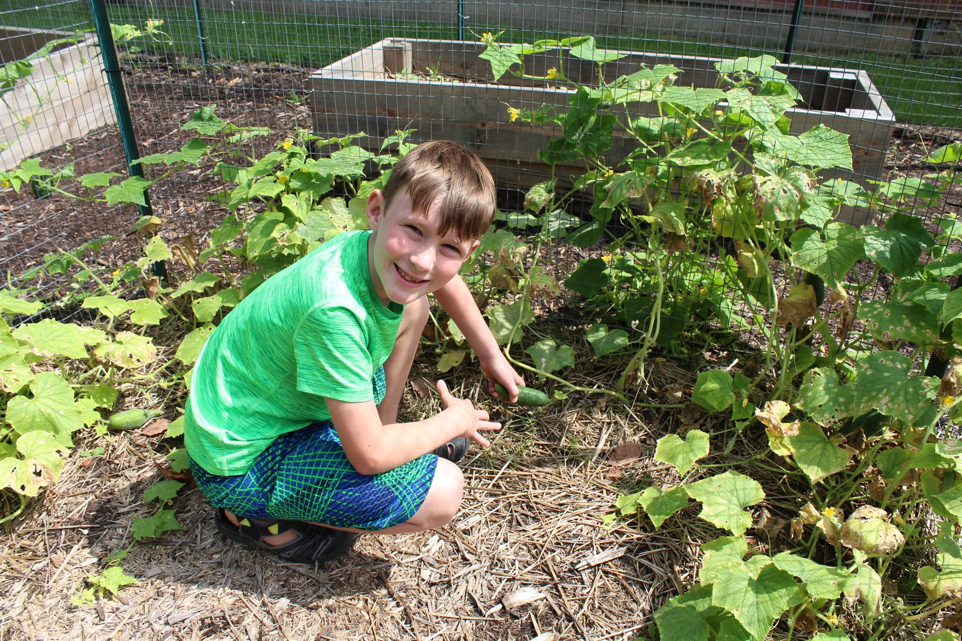 Student picking zucchini in the Lincoln Garden