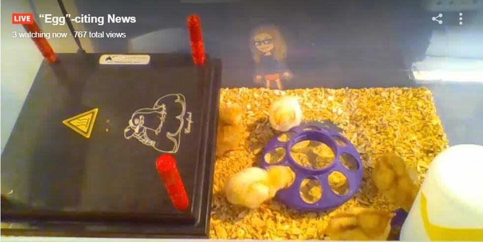 Five chicks